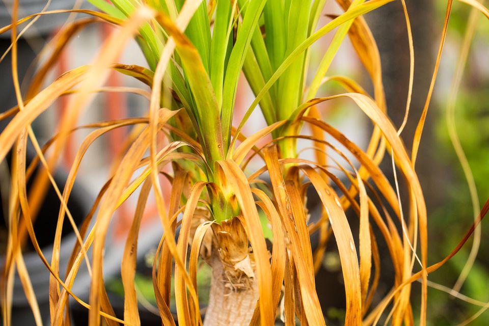 Long leaves turning yellow-brown around long green leaves closeup
