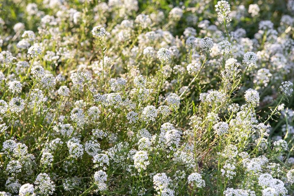 Sweet alyssum with white flowers in garden