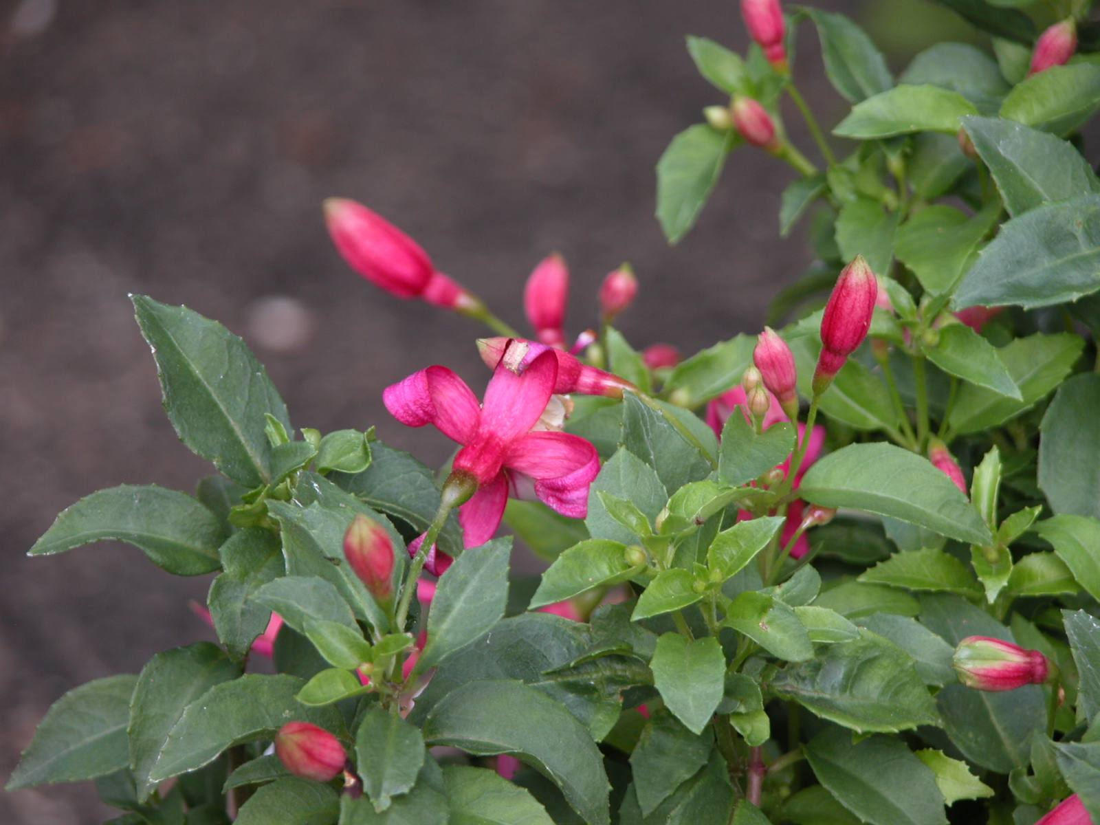 Fuchsia plant in bloom with about a dozen blooms.