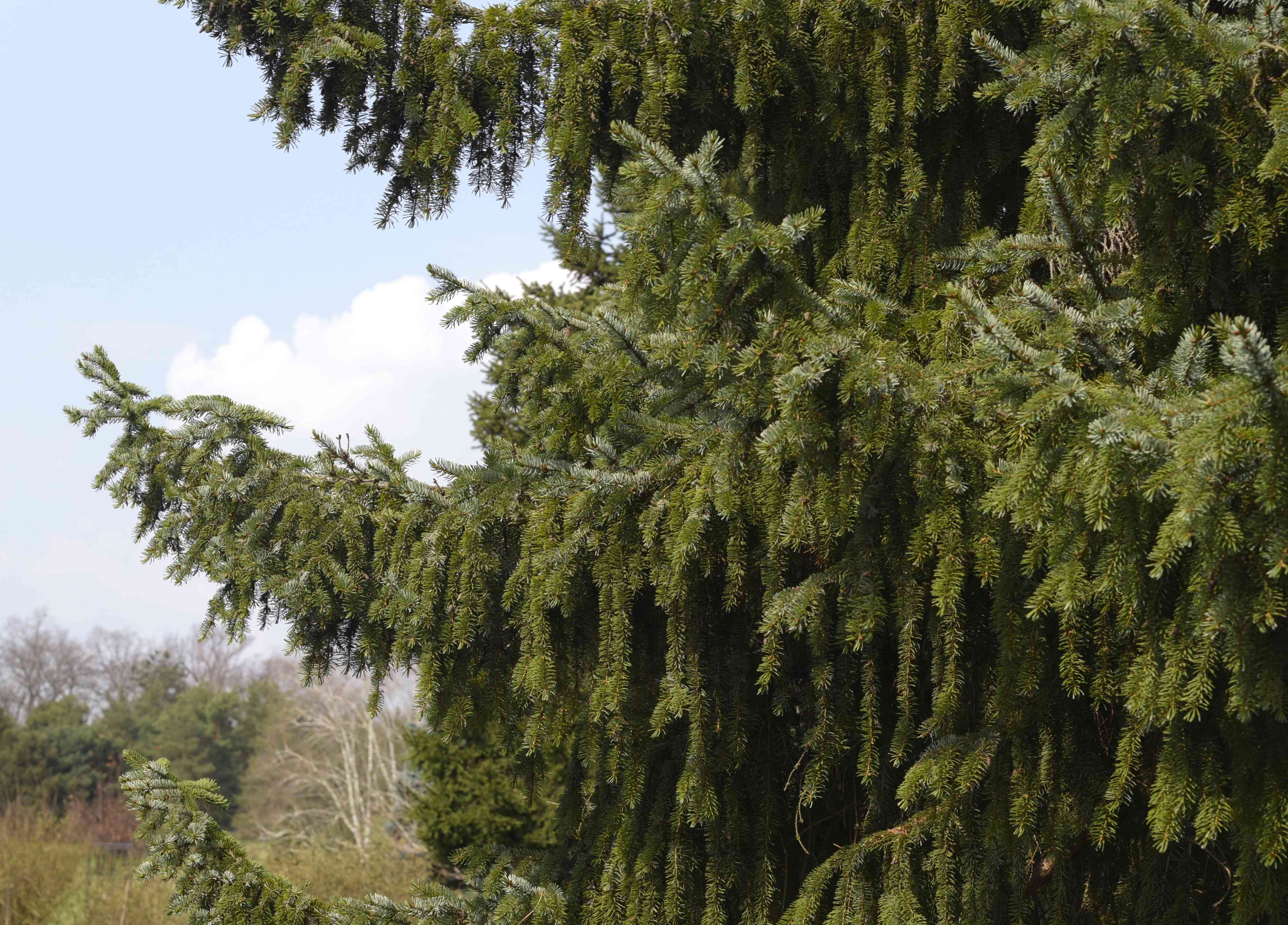 Serbian spruce tree with weeping branches and long needles against blue sky