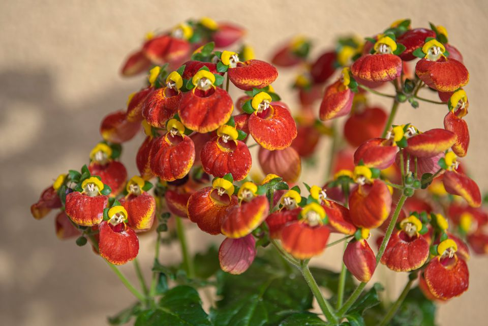 Calceolaria plant with red and yellow slipper-like flowers