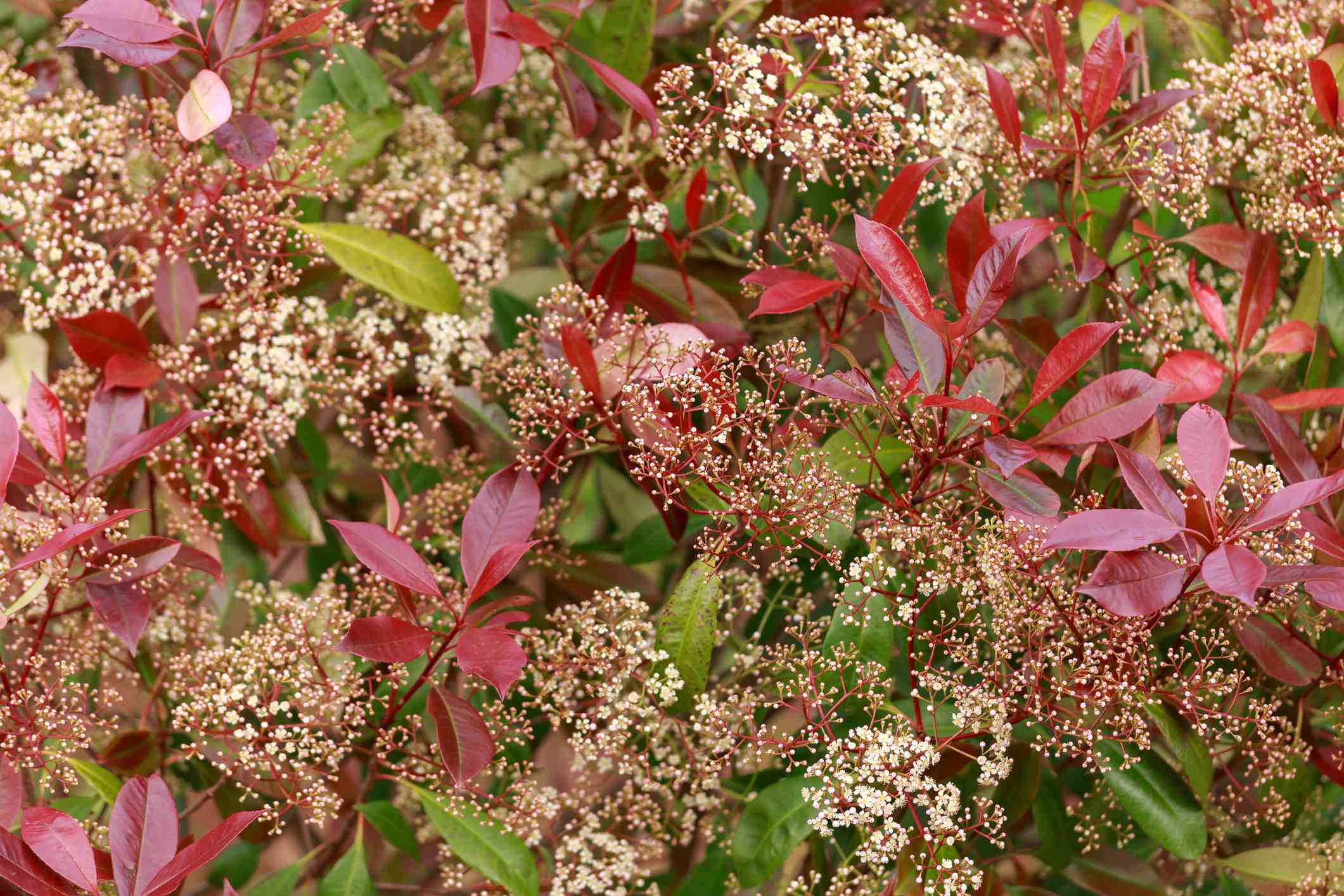 'Red Robin' hedge