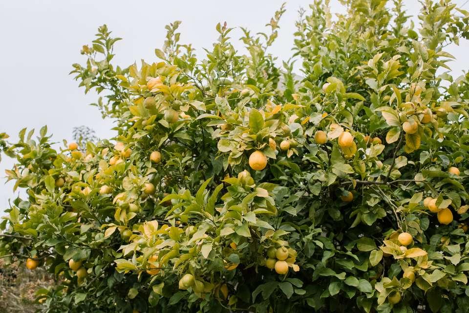 top of a lemon tree
