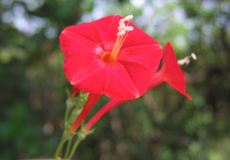 How to Grow and Care for Cardinal Climber Red Vining Houseplants on design red, pots red, flowers red, cactus red, nature red, peppers red, ornamental grasses red, mums red, berries red, orchids red, animals red,