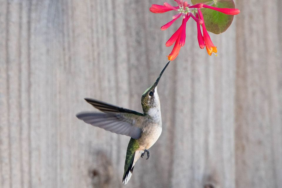 Hummingbird feeding out of bright pink and orange flowers while flying
