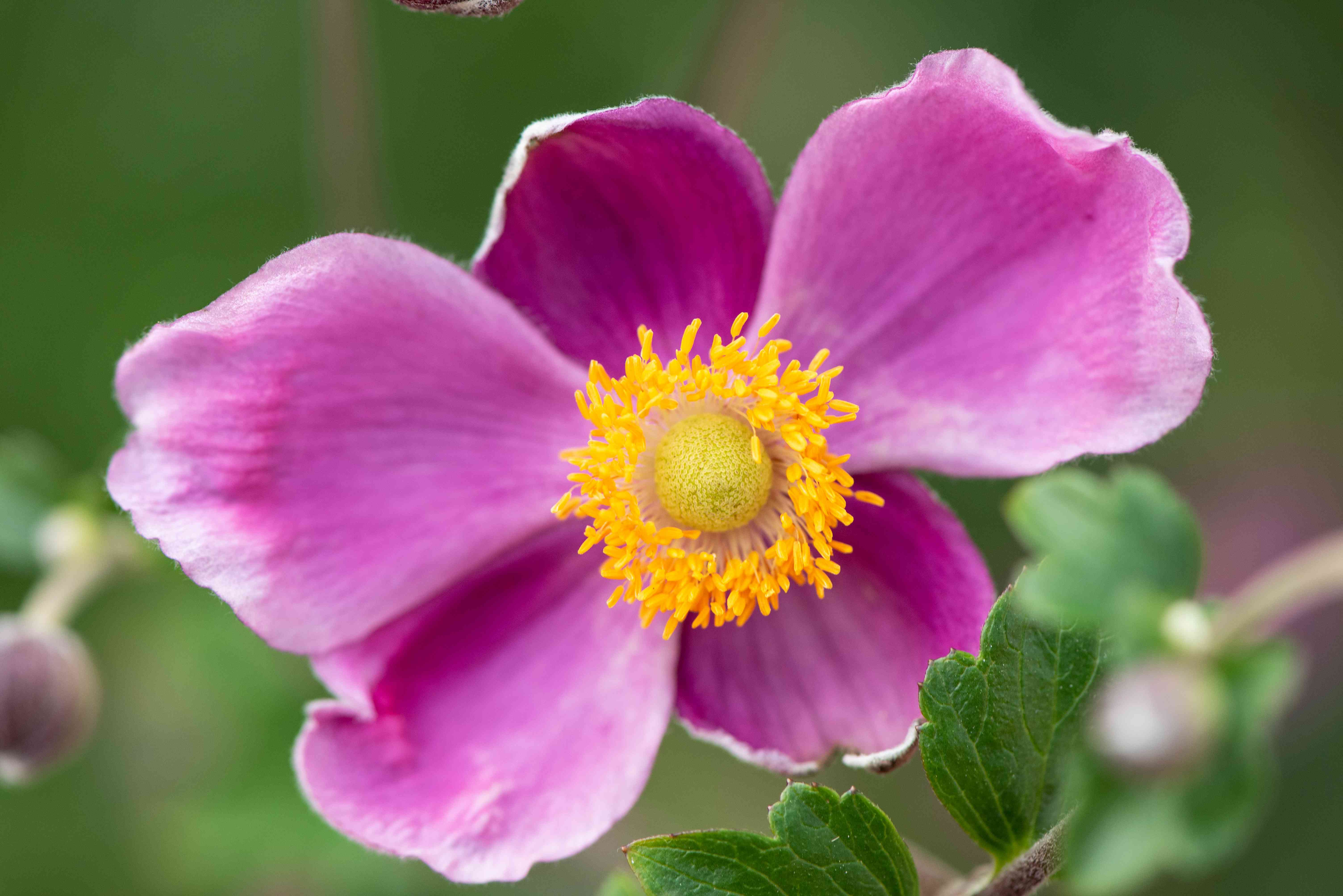 Rue anemone flower with deep pink petals and yellow center closeup