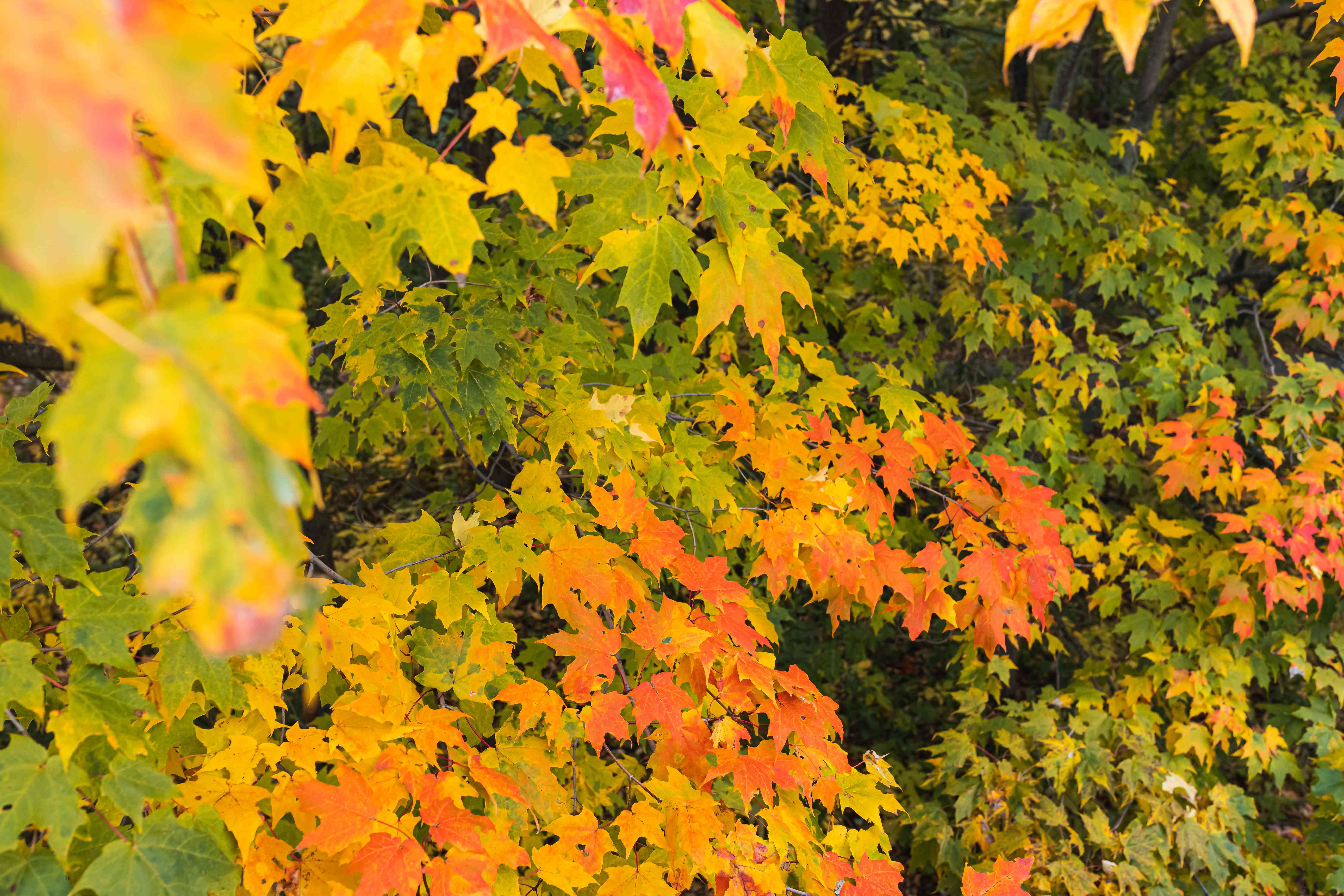 foliage changing on a red maple tree