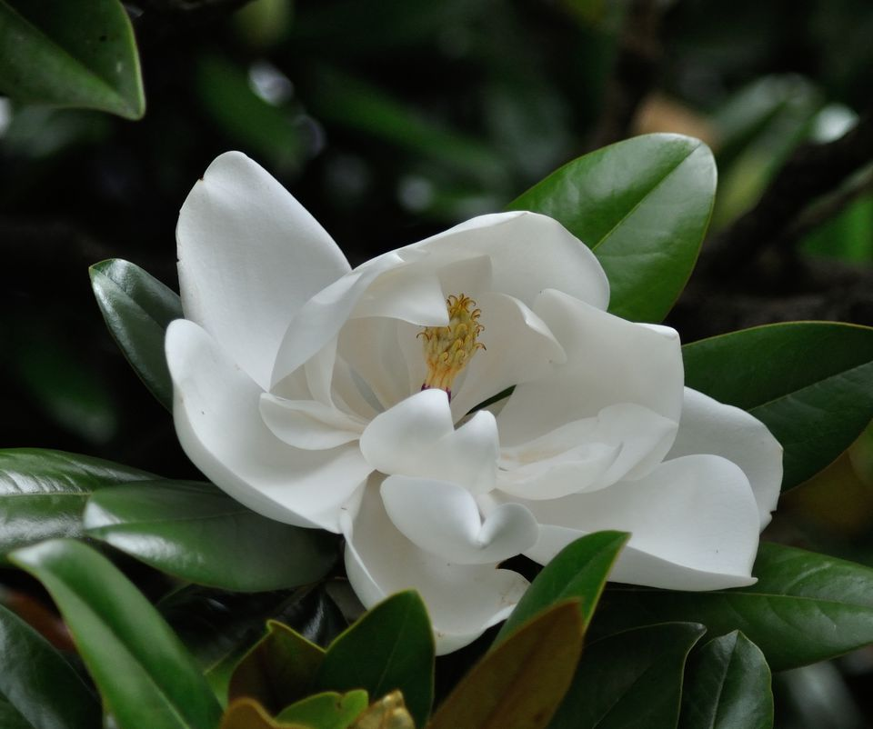 12 species of magnolia trees and shrubs magnolia grandiflora mightylinksfo