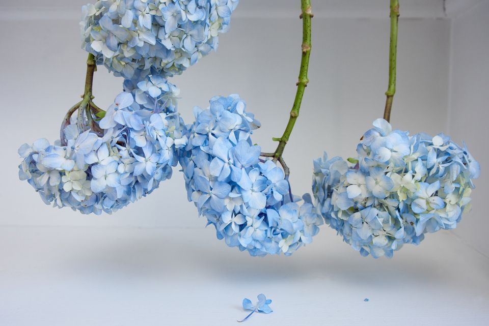 hydrangea flowers hanging upside down