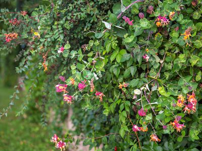 Common honeysuckle plant with tubular pink, yellow and orange flowers on vine-like branches