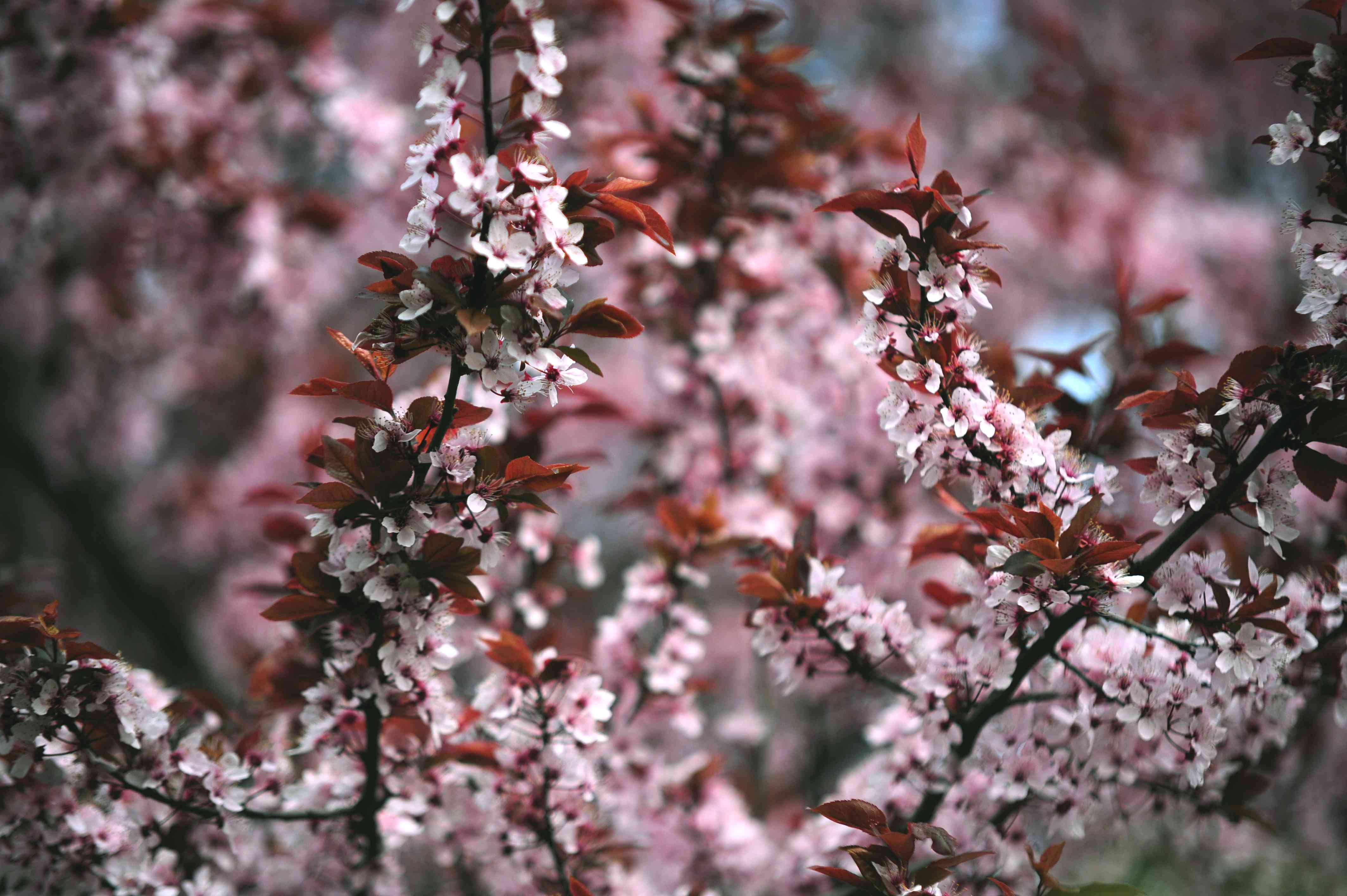 Purple leaf sand cherry tree branches with reddish-brown leaves and white and pink flowers