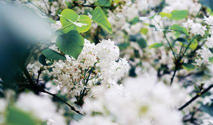 White lilac bush in bloom.