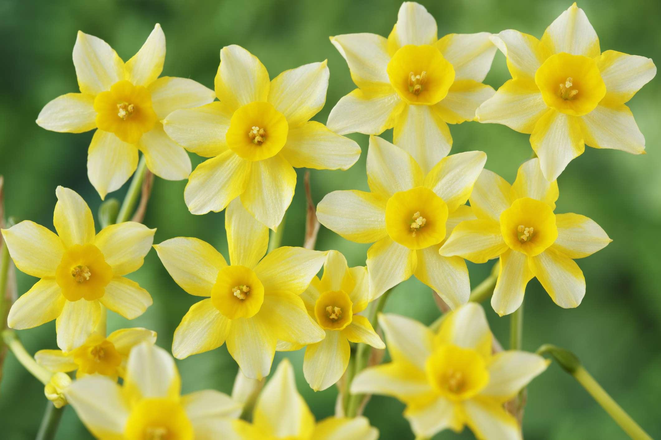 New Baby Daffodil