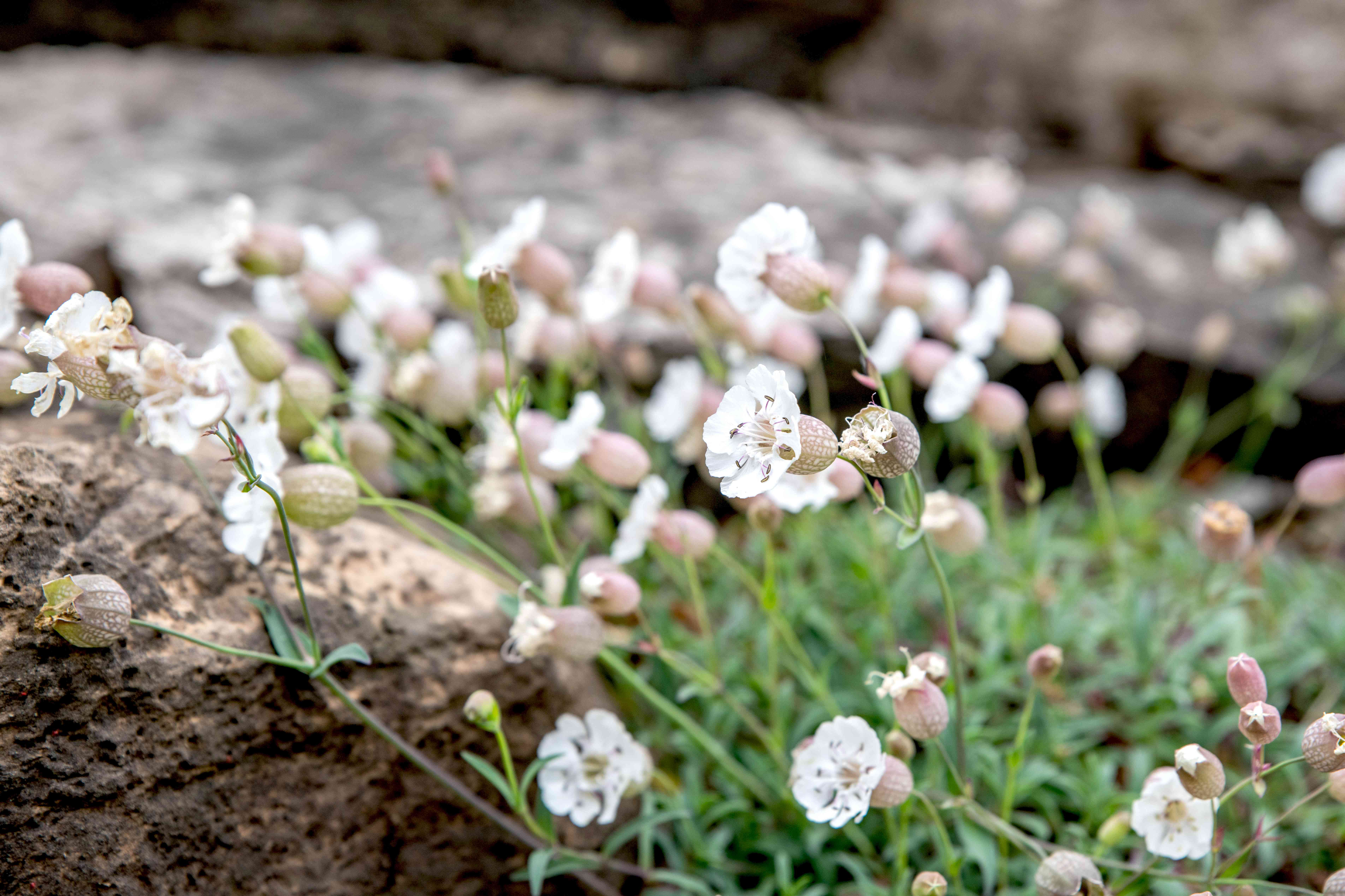 Silene plants with small white flowers on thin stems near rocks