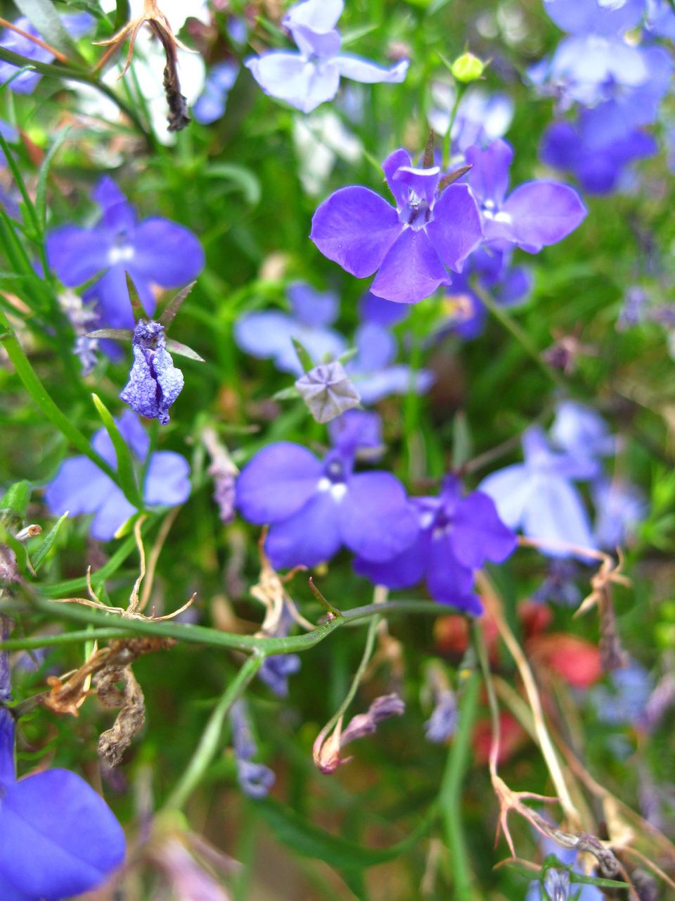 Spiller plant types and what they do the flowers of the lobelia a popular spiller plant paulmcdeecreative commons izmirmasajfo