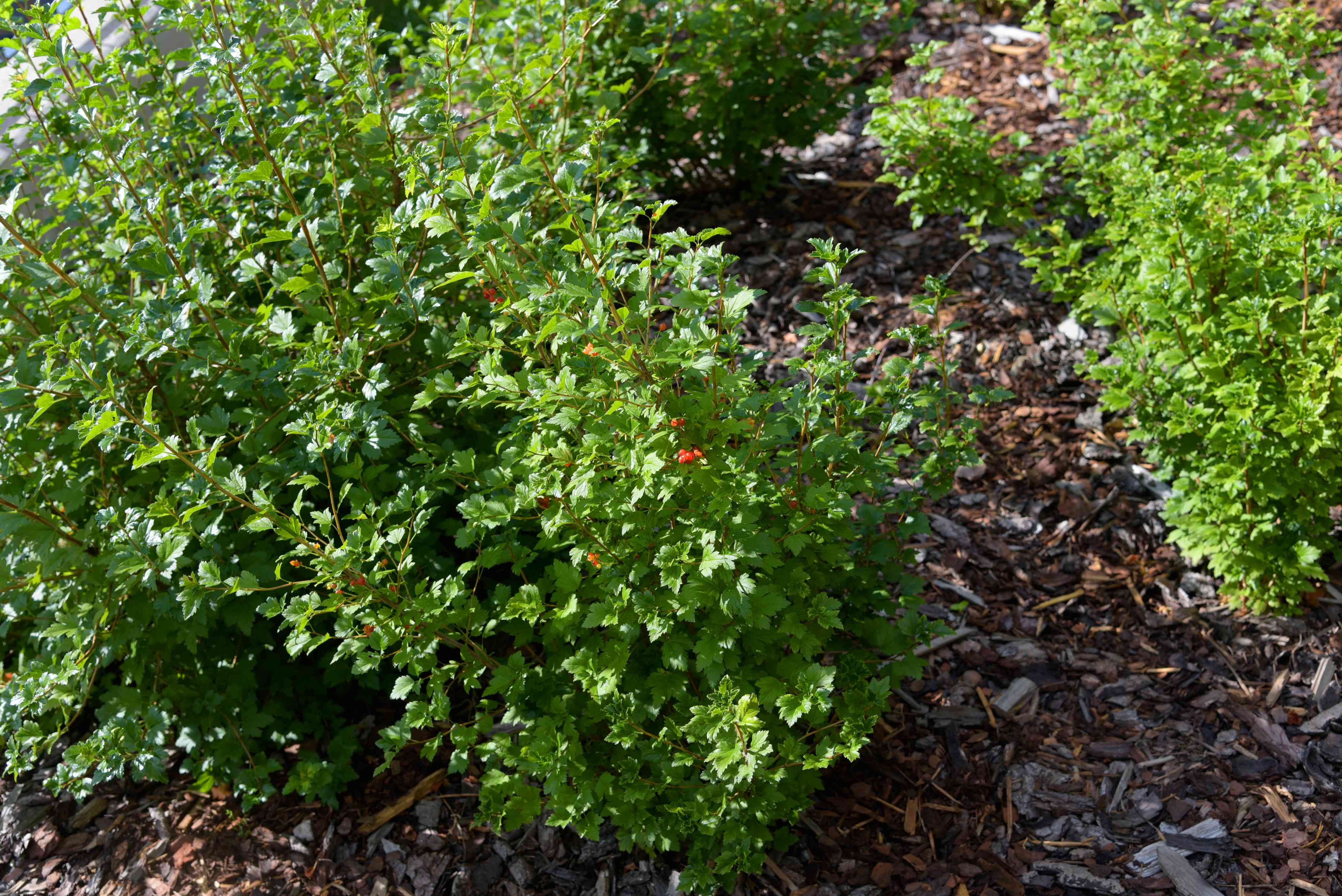 Alpine currant shrubs with dense leaves surrounded by mulch in garden