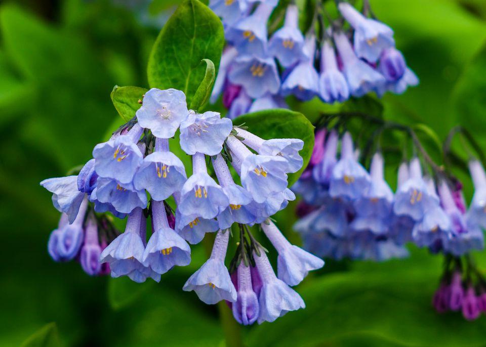Virginia Bluebells (Mertensia virginica), River Trail, Estabrook Park