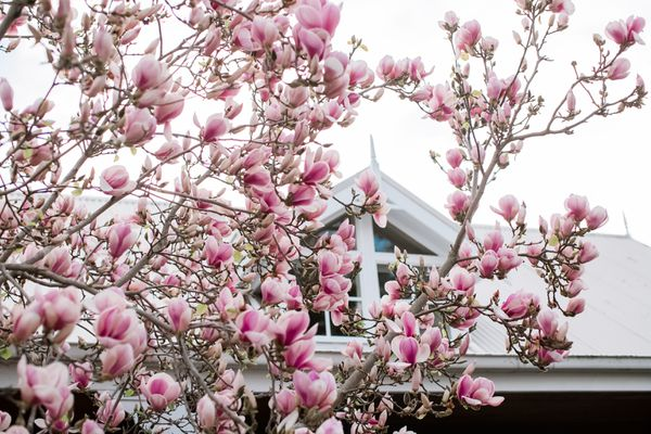 magnolia tree in front of a home