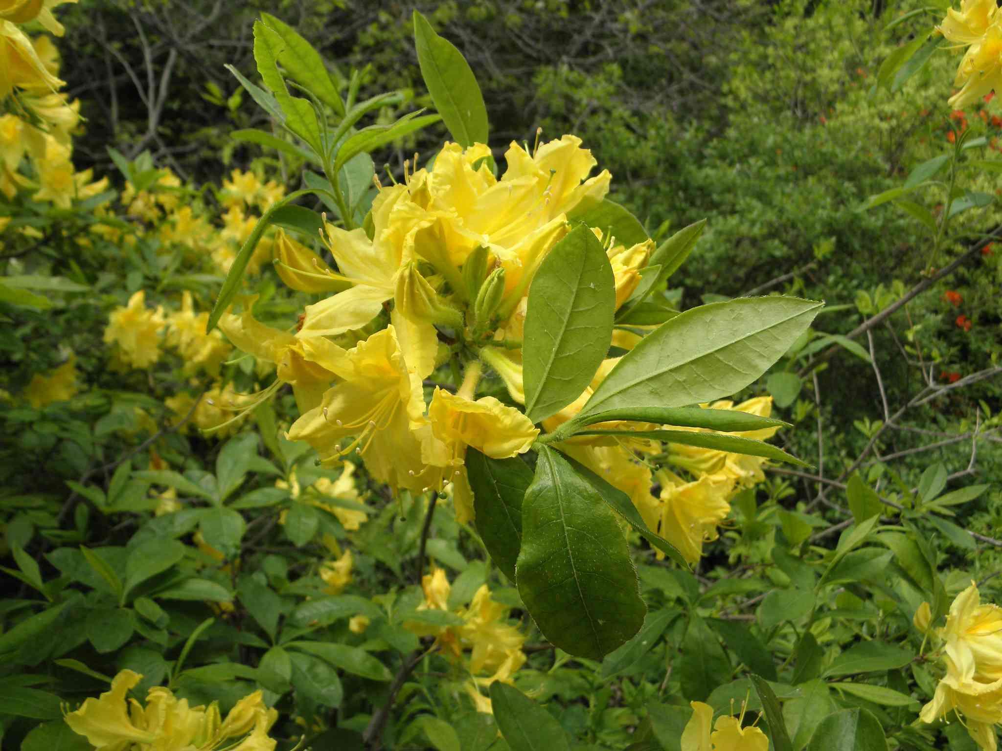 Azalea de 'Lemon Lights'