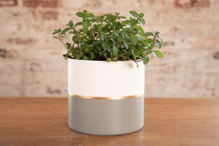 How to Grow and Care for Mint
