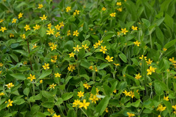 Goldenstar plant with small yellow star-shaped flowers