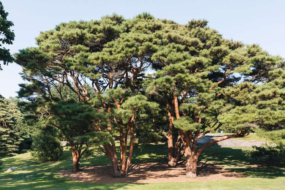 Pinus Taeda