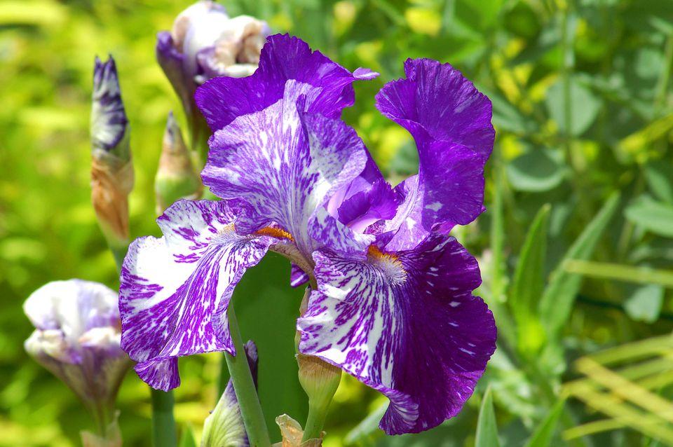 Batik iris in bloom.