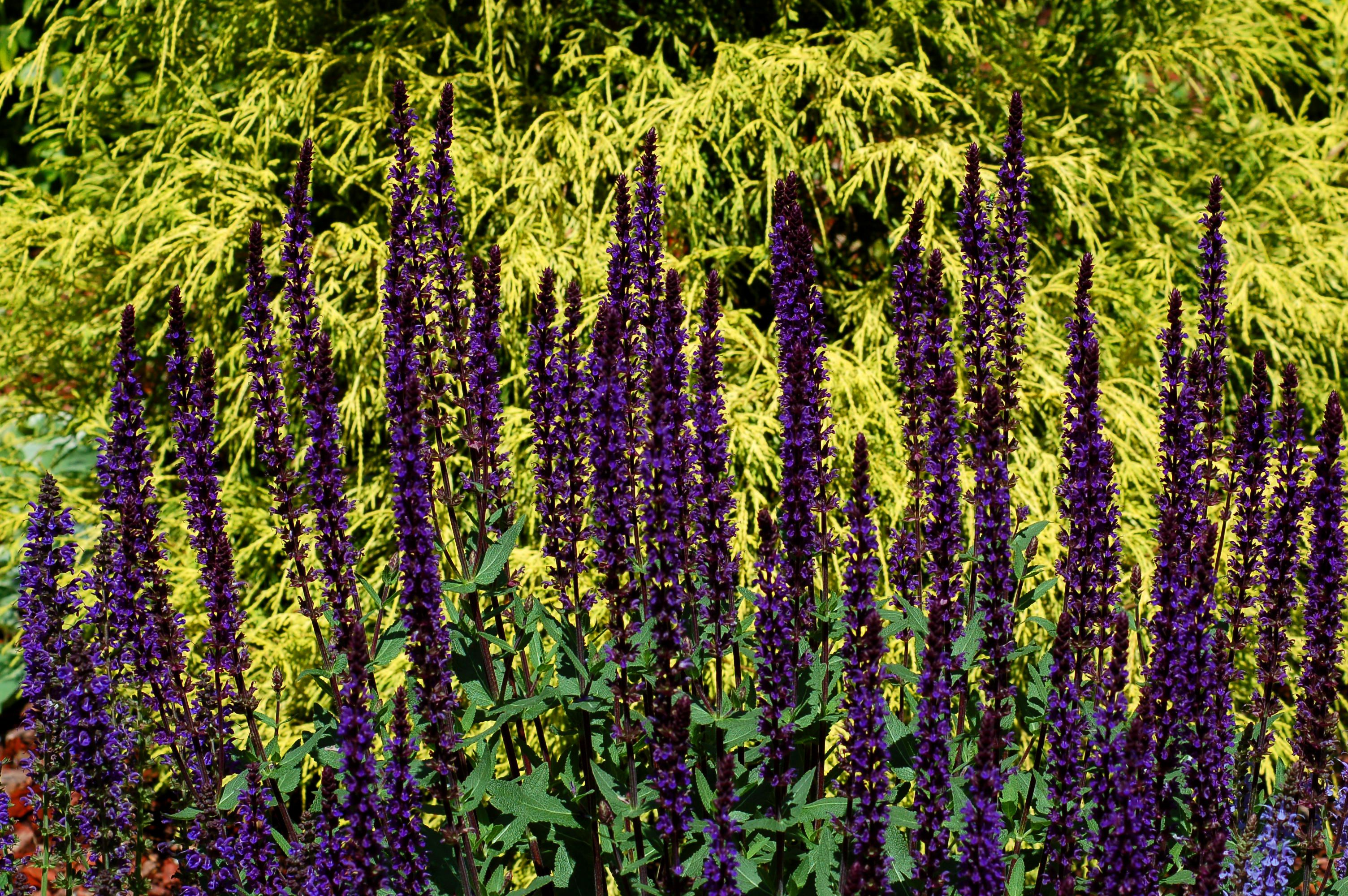 Caradonna salvia spiked flowers against gold grass.