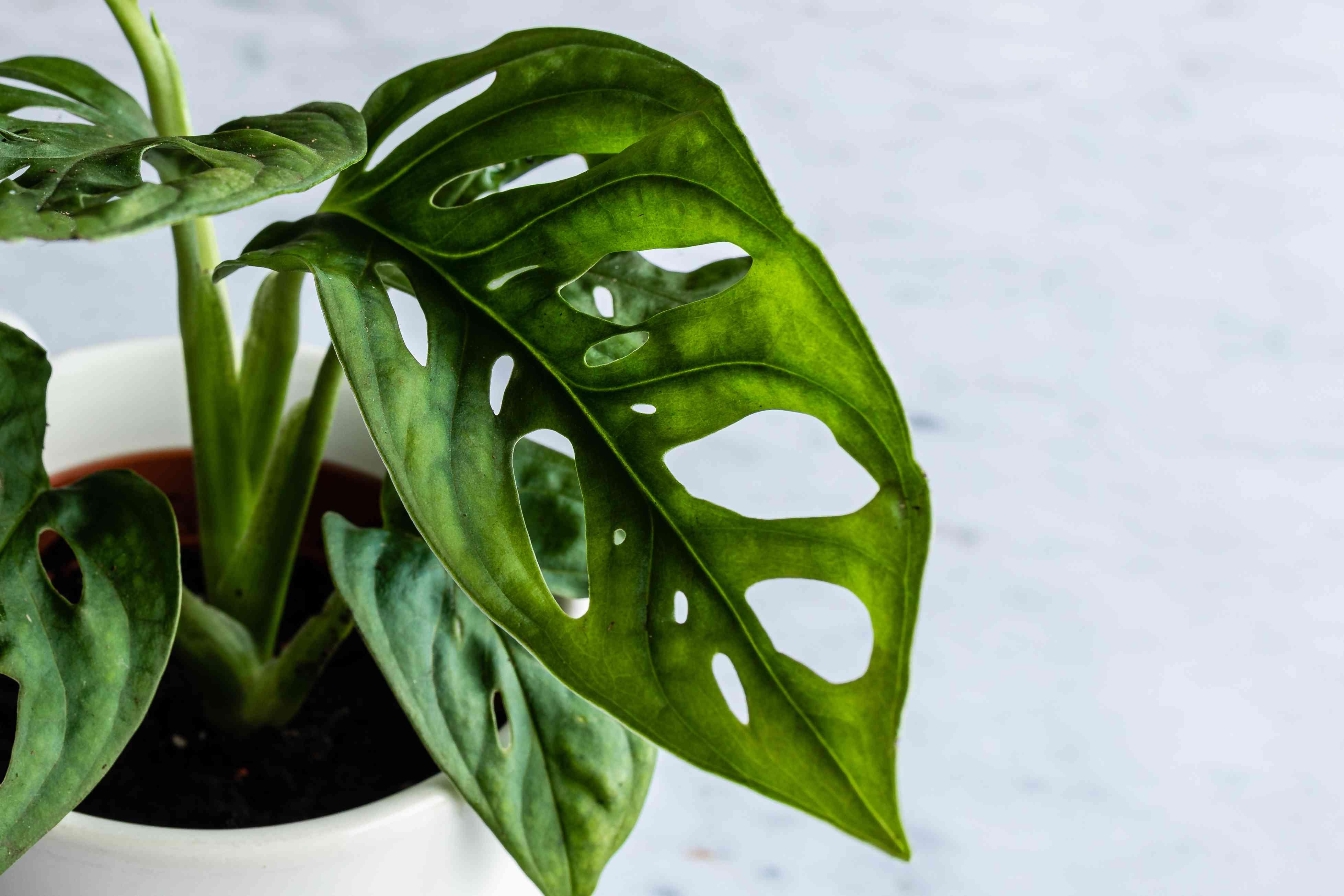 closeup of monstera adansonii leaves