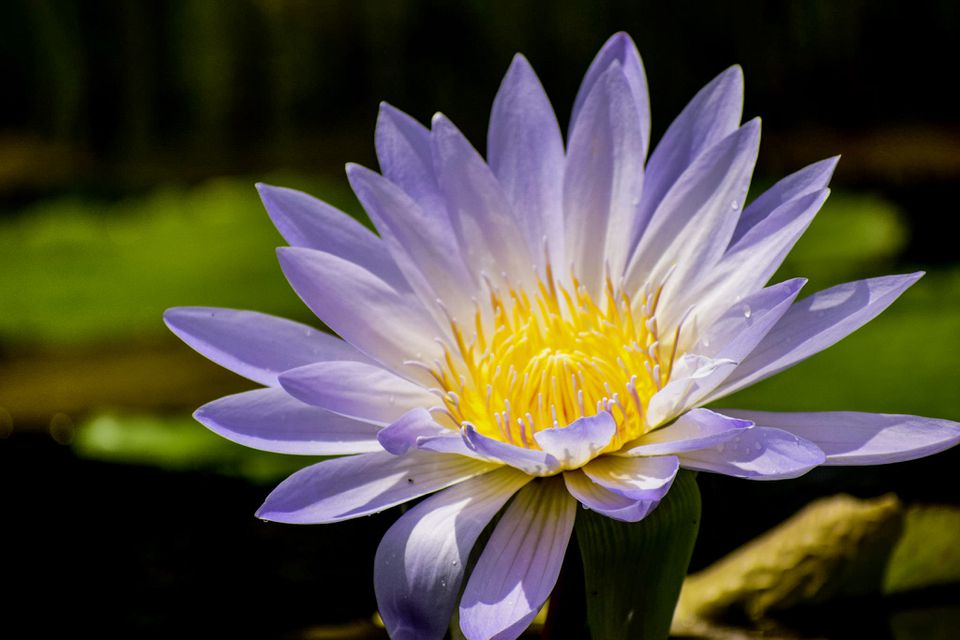 Close-up of a water lily