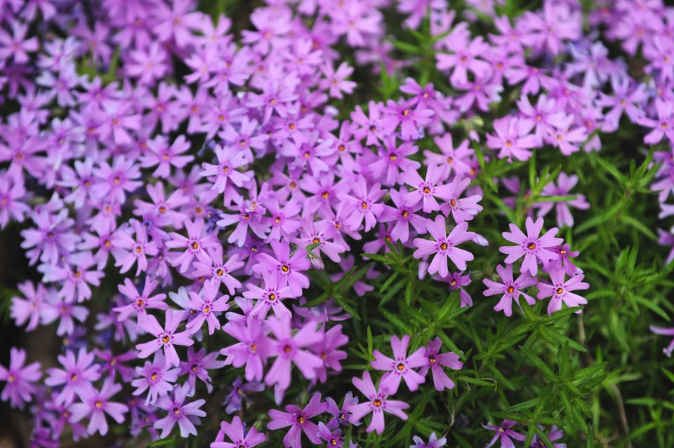 Creeping phlox with lavender flowers as ground cover closeup
