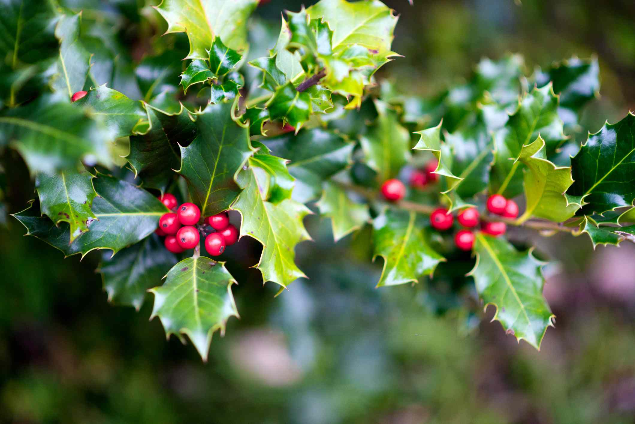 Ilex aquifolium (holly, English holly, European holly, Christmas holly)