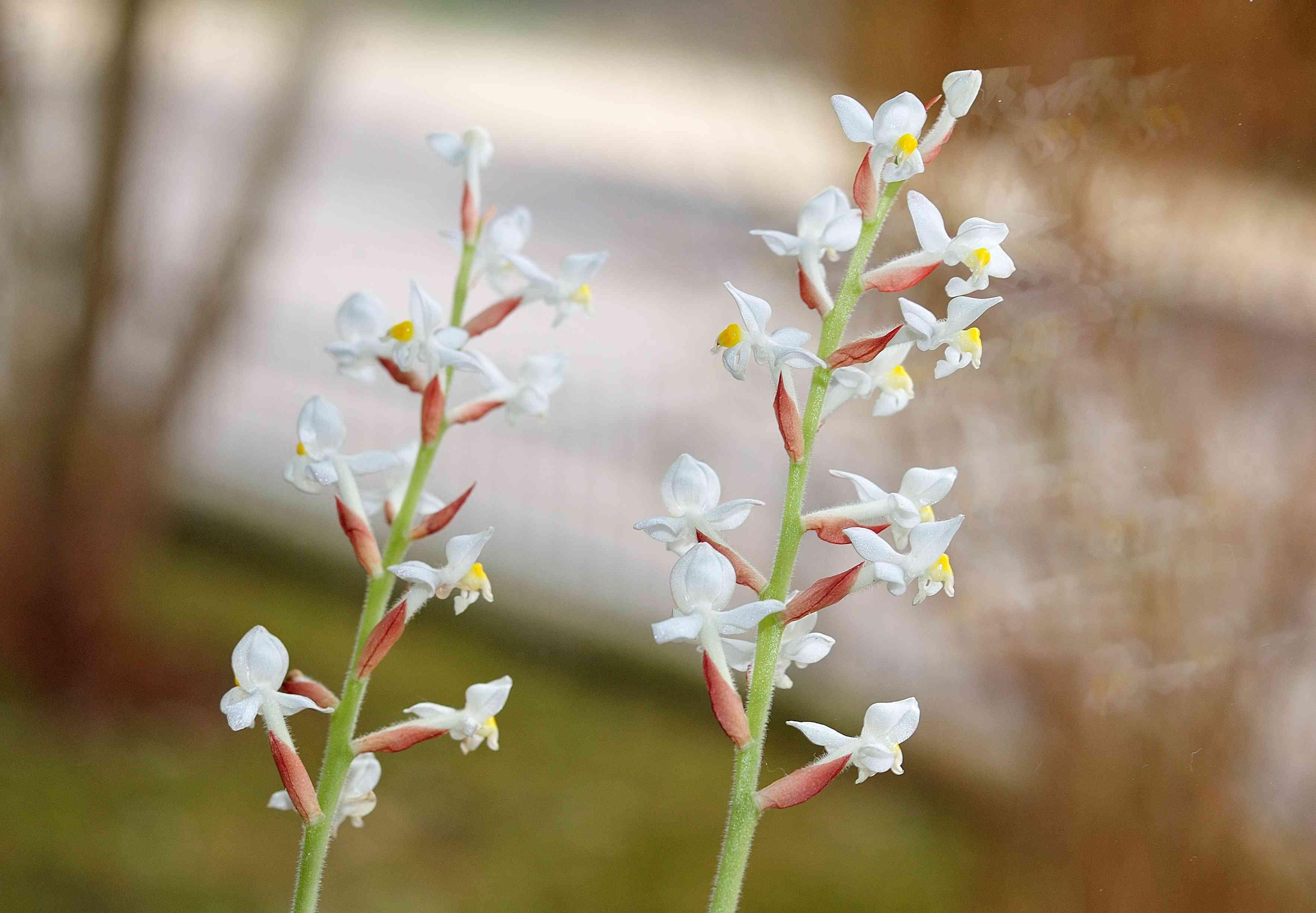 Ludisia Orchid