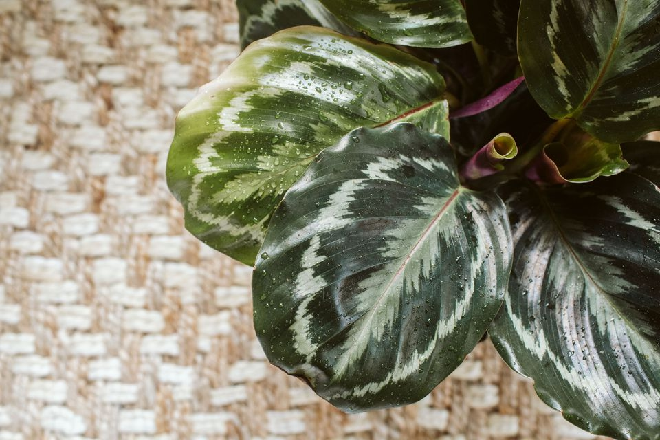Close up shot of a calathea plant