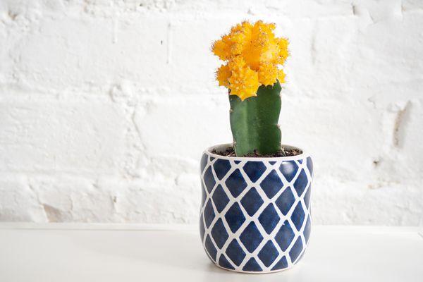 A ruby ball cactus