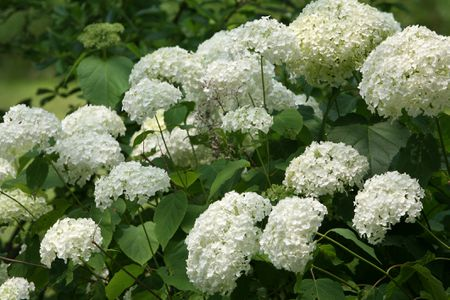 10 best shrubs with white flowers flower clusters of a white hydrangea bush mightylinksfo