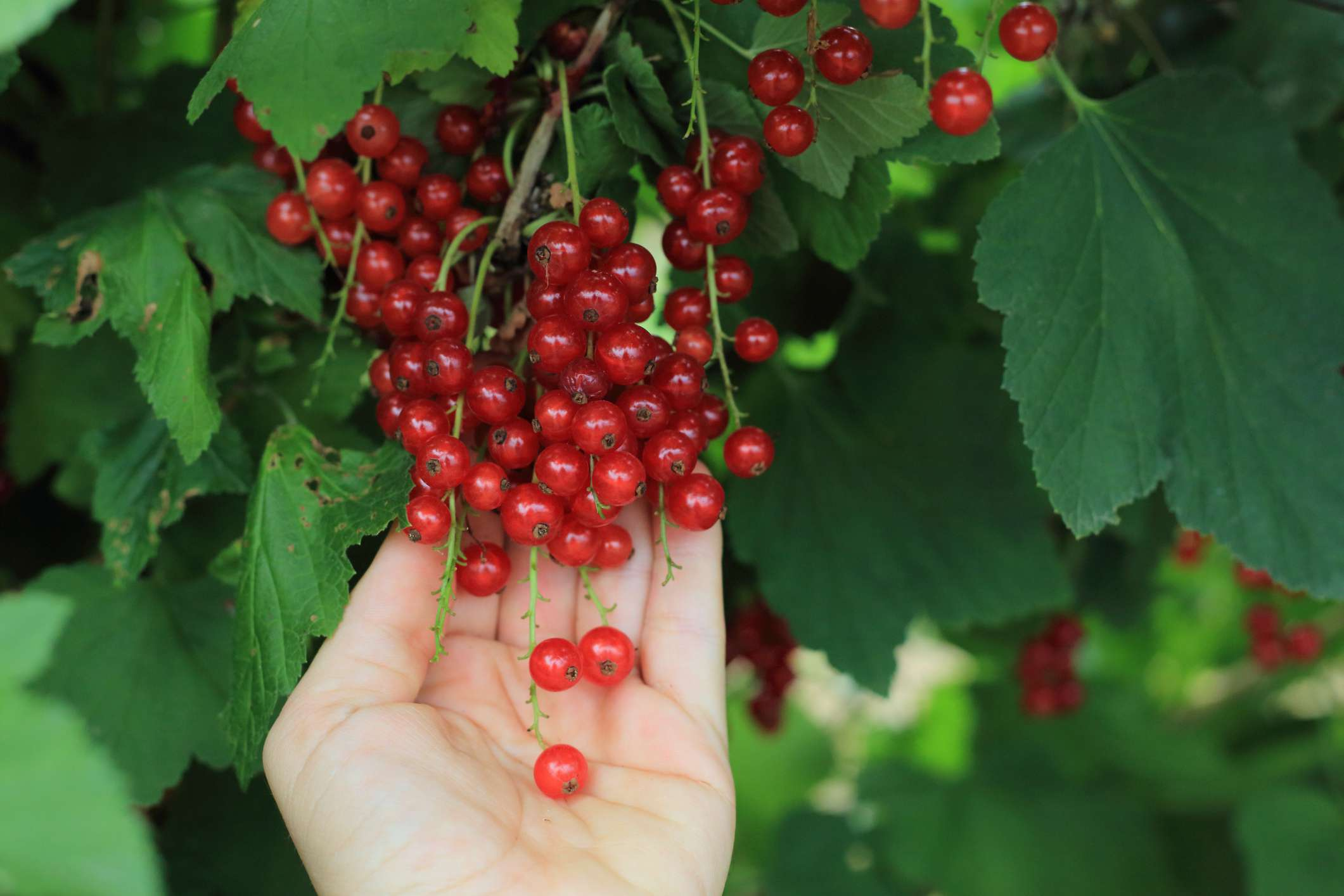 When harvesting red currants, pick the entire cluster