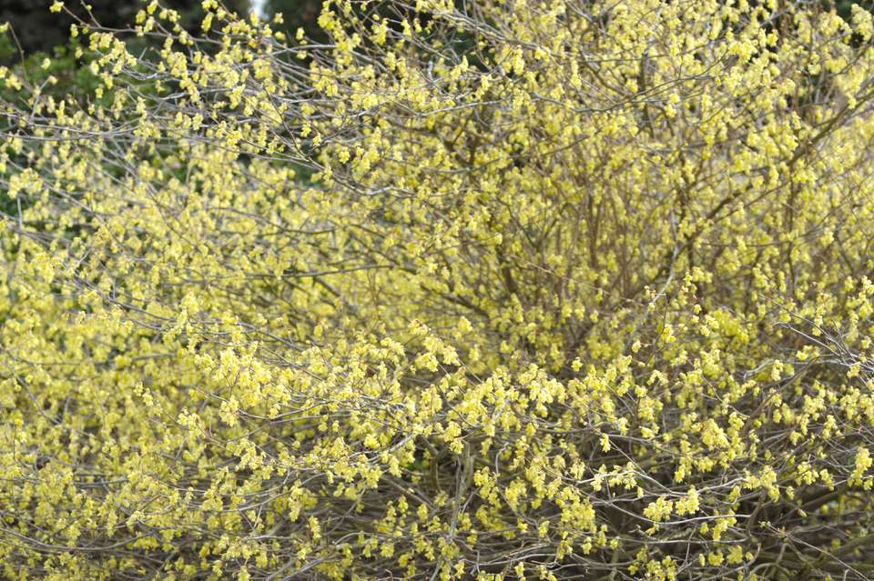 Buttercup winter hazel shrub with long extending branches with small pale yellow flowers