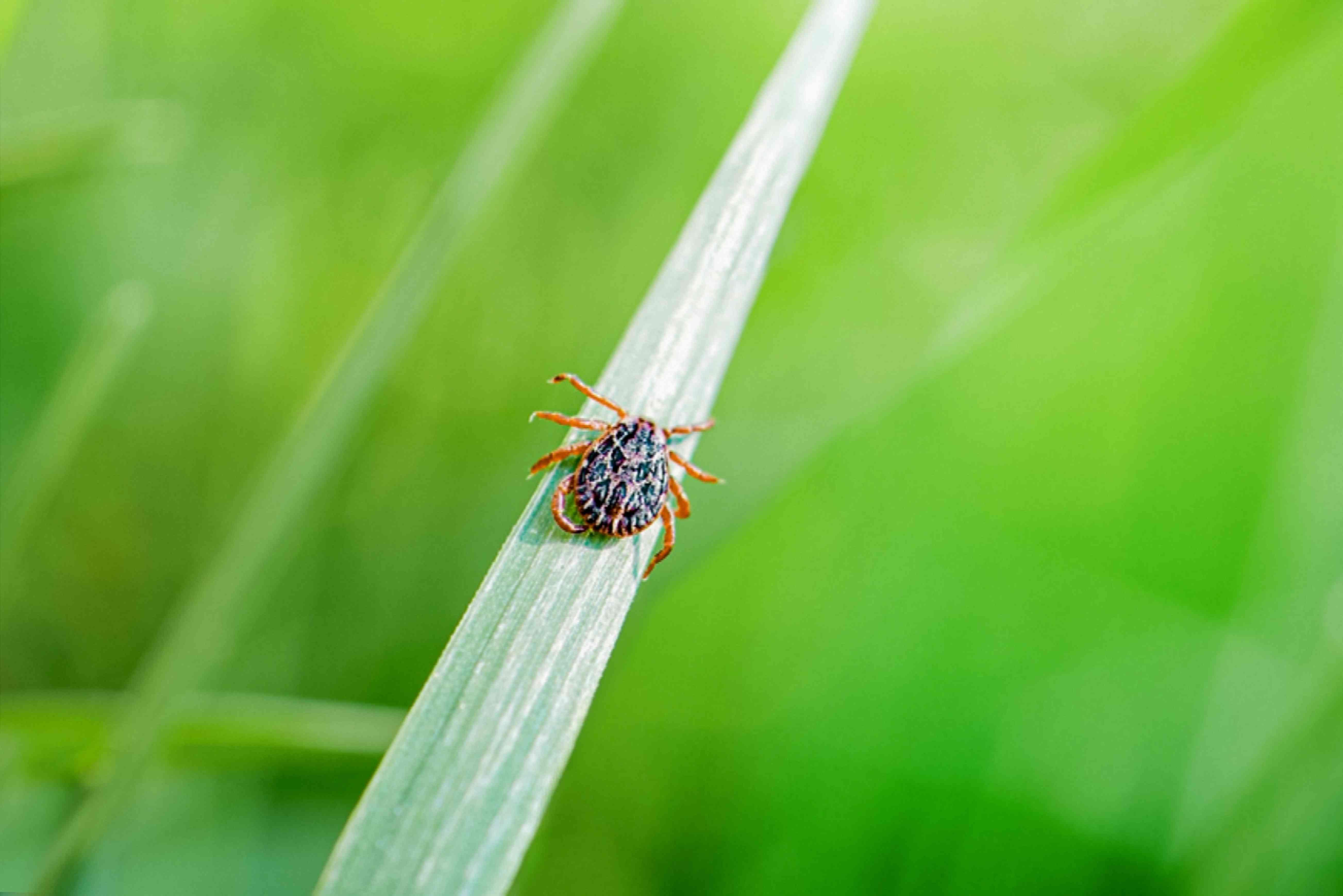 pest on grass