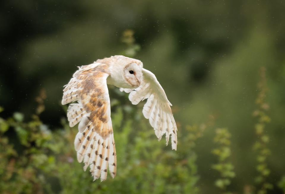 Close-up of barn owl flying against trees,Manchester Rd,United Kingdom,UK