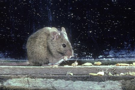 What You Need to Know About the House Mouse