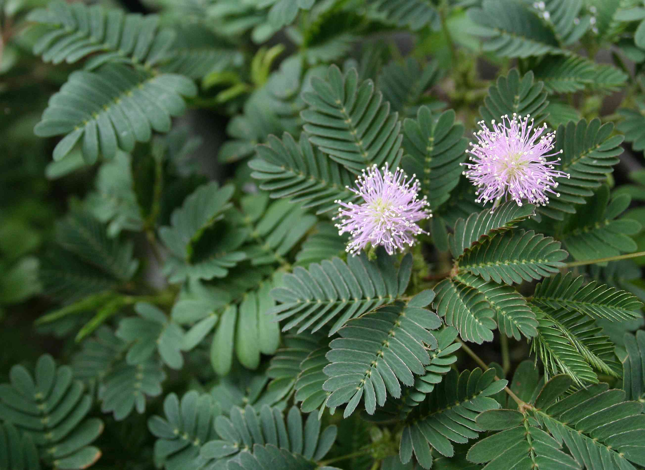 Mimosa pudica (sensitive plant) in bloom.