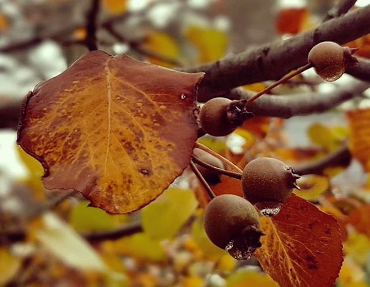 Brown and golden leaves on a branch with small round brown fruits