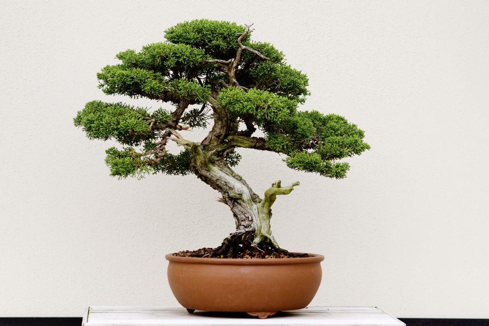 Juniper bonsai tree in a terracotta colored pot against a white wall.