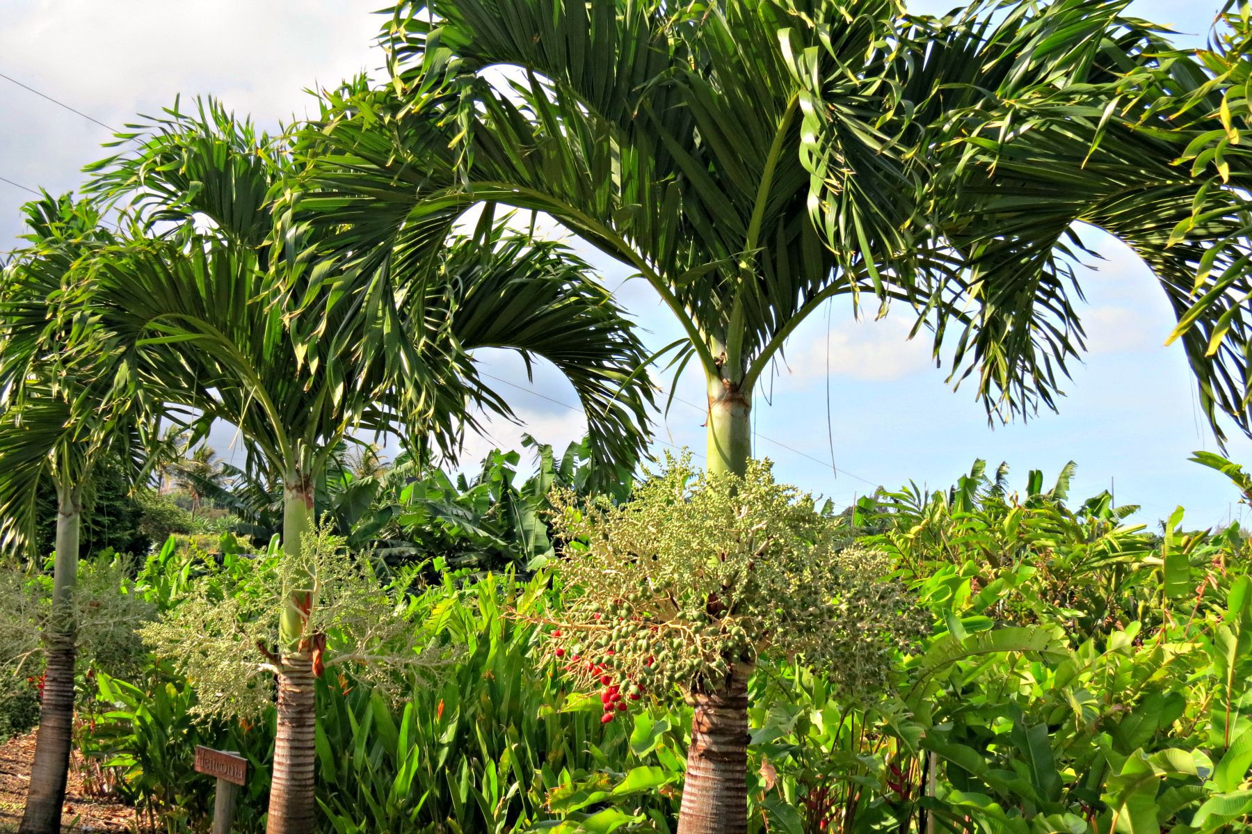 The Best Of The Bunch Pinnate Palms