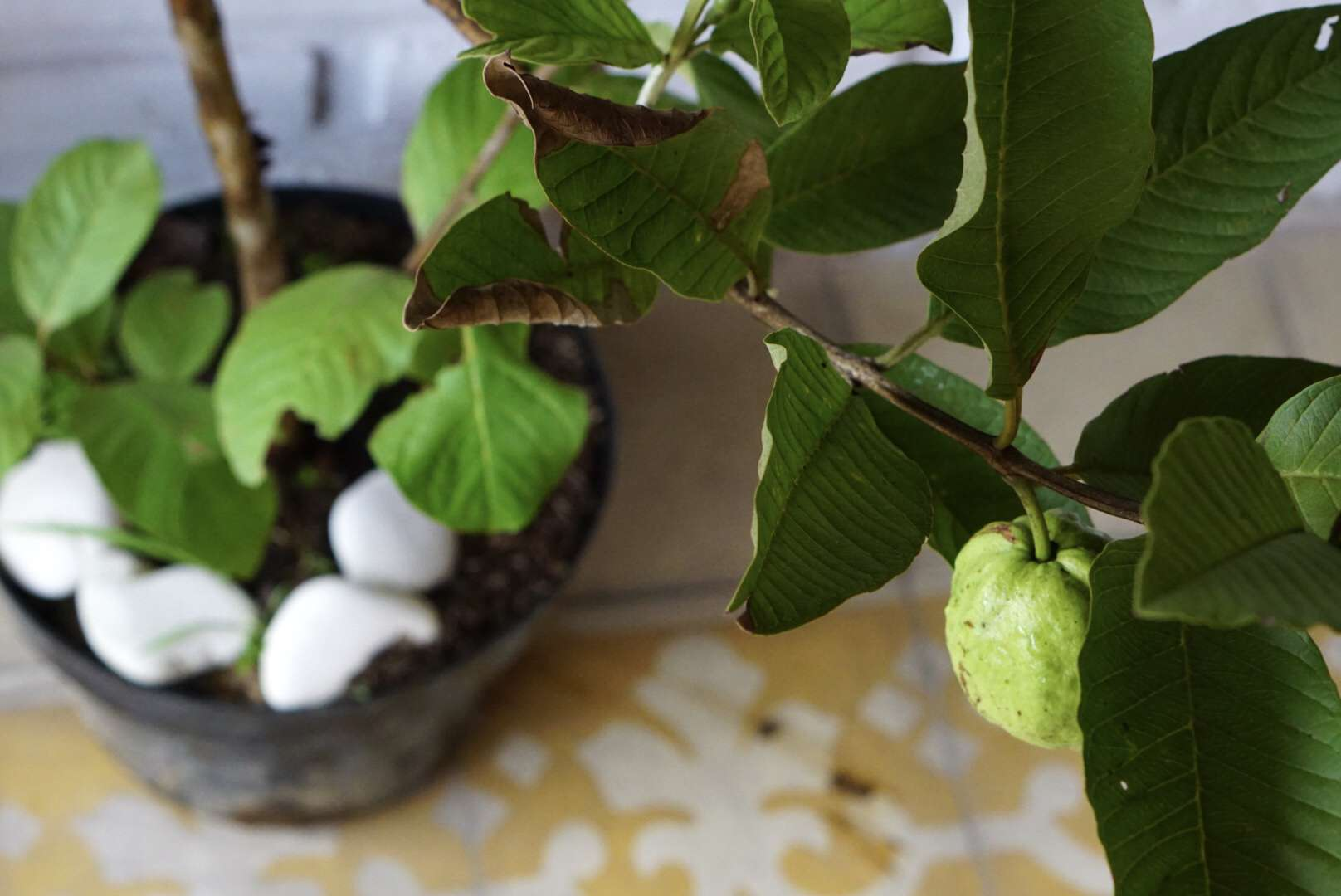 Guava plant in pot with guava fruit hanging below branch