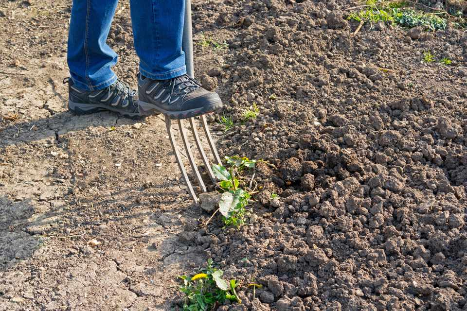 Gardender digging up compacted soil with a fork