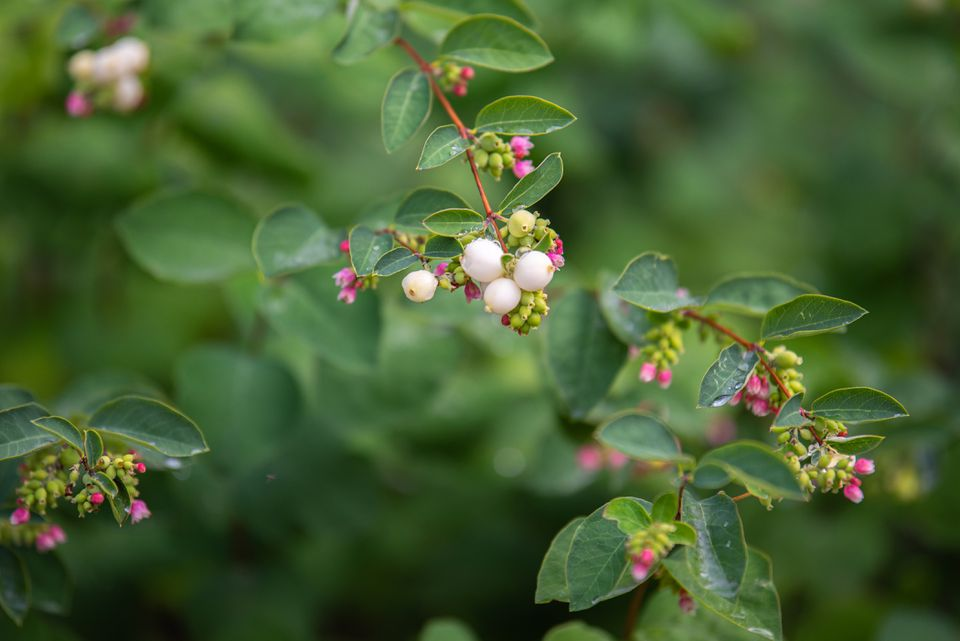 Common snowberry plant branch with small ovate leaves and tiny white berries and pink flower buds