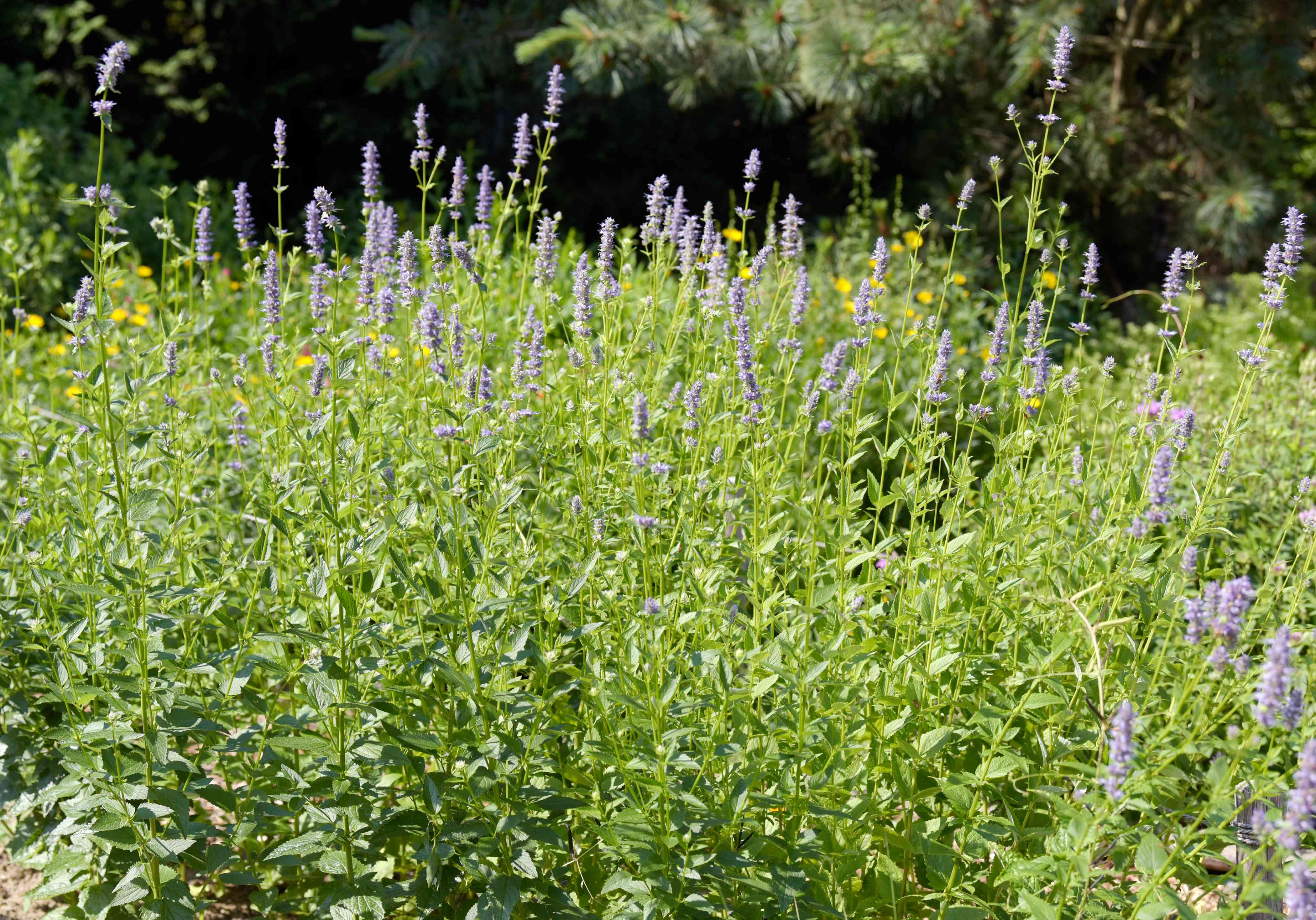 Purple giant hyssop plants with purple flowers on tall spikes and foliage