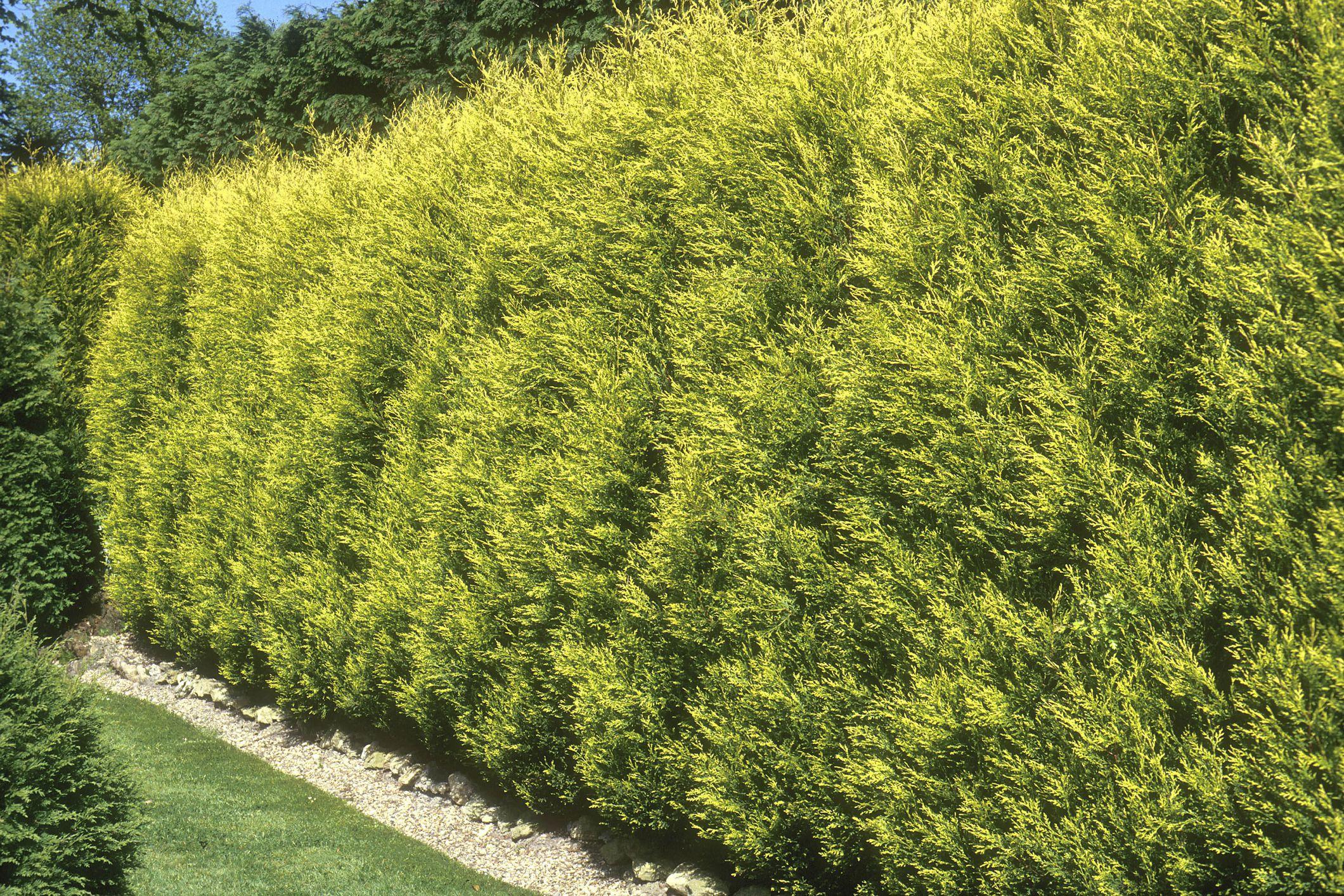 Golden shrubs